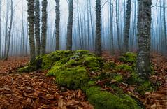 Entre las nubes (Victor Aparicio Saez) Tags: musgo humedad bosque niebla árboles primerplano castaños castañar casillas españa invierno otoño hojas paisaje naturaleza picture forest ambiente fotosconamparohervella frío nubes