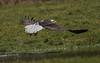 American Bald Eagle (nickinthegarden) Tags: americanbaldeagle baldeagle eagle abbotsfordbccanada
