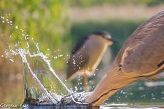 BAAAANNNGGG....! (Gergely_Kiss) Tags: lakeside reed europeanbirds wader bird heronstrike heronfishing greyheron szürkegém
