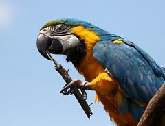 One Big Toothpick (Diane Marshman) Tags: macaw parrot large bird orange blue green white feathers bill beak stick animal adventure park animaladventurepark new york state sky