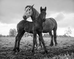 Posing for me, Guy (Drummerdelight) Tags: horses blackwhite captiveanimals