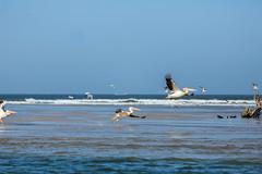 Pélicans (hubertguyon) Tags: sénégal senegal afrique africa sahel ouest west langue de barbarie oiseau bird
