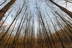 Like Antennas (revisited) (Ir3nicus) Tags: 142428 ast ausen bäume wald winter zweig kahl issum nordrheinwestfalen deutschland de outdoor germany nikon d700 dslr fullframe fx afsnikkor14–24mm128ged branch trees forest antenna natur nature