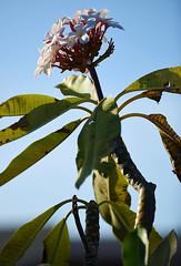 Reaching to the Sun (Poocher7) Tags: sky tree tropical blossoms pretty flowers lovely beautiful caribbean cuba frangipani plumeria fragrantflowers