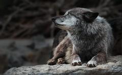 FRIEND (babsbaron) Tags: nature tiere animals säugetiere mammals raubtiere predators jäger hunter wolf wölfe wolves zoo erlebniszoo hannover friend