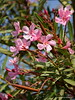 sunny oleander (pvh photo) Tags: smcdal55300 oleander