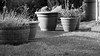 Pots (No Edit) (mrpauladams) Tags: blackandwhite mono monochrome garden path pavement washingline fence wood metal home house street road day daytime noon afternoon morning nonedit filmreplication natural zero neutral