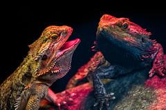 Klein Costa Rica (Nolleos) Tags: vogeltuin leguaan kleincostarica reptiel