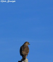 hawk-falco-abruzzo (Mick_Brunight) Tags: collina falchi falco hawk hawks sky sea cielo mare azzurro abruzzo volo volare