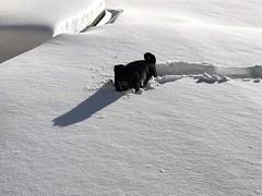 Sadie in the snow (Stefan Candie) Tags: pug pugs cute dog pets 2018 snow winter