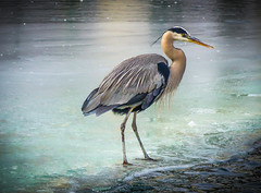 """Great Blue Heron on Ice"" (Cathy Lorraine) Tags: outdoors cold nature winter greatblueheron heron bird ice kentucky lexington coth5"