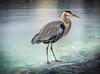 """Great Blue Heron on Ice"" (Cathy Lorraine) Tags: outdoors cold nature winter greatblueheron heron bird ice kentucky lexington coth5"