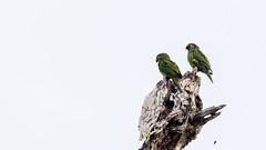 070.6 Weddells Aratinga-20171112-J1711-67829 (dirkvanmourik) Tags: aves birdsofperu cochaotorongo manuriver manureservedzone otorongooxbow parquenacionaldelmanu peru2017 rainforest tropischregenwoud vogel yinelodge