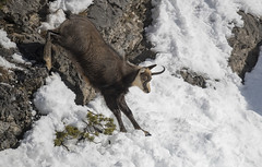 Chamois's jump with broken horn (quanuaua) Tags: ifttt 500px winter snow wildlife alps wild animals nature photograph photo rupicapra pics photos camoscio alpino alpine chamois