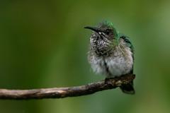 A Little Stretch (miTsu-llaneous) Tags: whiteneckedjacobin florisugamellivora bird birdphotography hummingbird animal wildlife wildlifephotography nature naturephotography nikon trinidad trinidadandtobago caribbean d500 tamron 150600mm