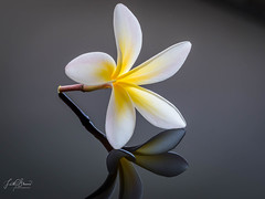 Frangipani (Laith Stevens Photography) Tags: macro olympus olympusinspired omdem1 olympusomd indoors studio strobist stilllife omdem1mkii 60mmf28 zuiko reflections product flowers frangipani cactusv6ii tt685c offcameraflash goneawol getolympus glass sharp detail beautiful ngc