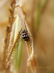 Eriopis connexa (✿ Debora ✿) Tags: eriopisconnexa coleoptera joaninha ladybug ladybird inseto beetle besouro insect coccinelidae sonydsch50 sony gimp