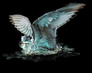 Seabirds of Long Island Sound
