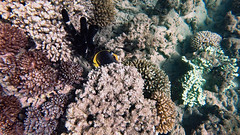 Butterflyfish, Dusky (Insequent) Tags: butterflyfisheschaetodontidae lordhoweisland newsouthwales australia