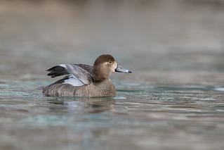 Redhead Duck (FEM)