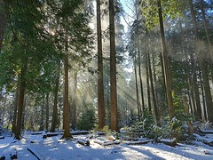 Sun and snow illuminate the forest (walneylad) Tags: westlynn eastviewpark northvancouver britishcolumbia canada woods woodland forest urbanforest trees leaves ferns branches february winter afternoon snow nature view scenery sun light dark shadow rays bluesky