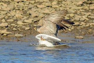JWL3909  Peregrine Falcon..