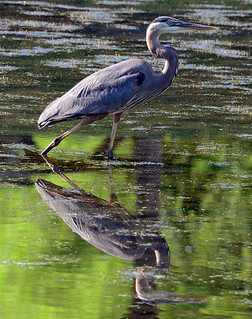 Great Blue Heron Reflecting