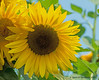 "Sunshine For The Day (jimgspokane) Tags: sunflowers flowers spokanewashingtonstate summer ""nikonflickraward"" otw today´sbest"