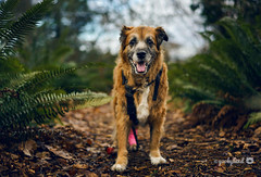 6/52 - that smile though... (yookyland) Tags: 52weeksfordogs 2018 misty 652 dog forest woods fern winter