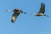 Sandhill Cranes in flight – 4 (Roy Prasad) Tags: crane bird migration migrating sandhill prasad royprasad lodi california travel water nature sony a7rm3 flight bif sky tree