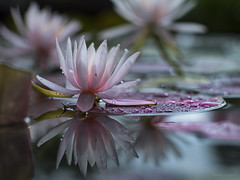 rain at the pond (gnarlydog) Tags: flowers waterlilly australia shallowdepthoffield reflection vintagelens bokeh gzuiko40mmf14 manualfocus water pond pink waterdroplets rain wet nature
