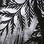 Wet Cedar Tree / Port Coquitlam thumbnail