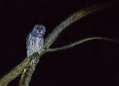 Barred Owl - Strix varia (AnthonyVanSchoor) Tags: barred owl strix varia meadowbrookpark ellicottcity howardcountymd howardcountybirdclub nikond7100 tamron150600mmtelephotolens marylandbiodiversityproject