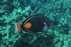 dark & bright (BarryFackler) Tags: fish marinelife fauna life aquatic organism animal being seacreature zoology marinebiology diving hawaii coralreef achillestang acanthurusachilles pakuikui surgeonfish tang achillessurgeonfish aachilles biology 2017 tropical kona honaunaubay sealife vertebrate barronfackler ecology island outdoor marine hawaiiisland undersea ocean konadiving coral bigisland nature pacificocean marineecosystem marineecology barryfackler bay bigislanddiving creature southkona sea scuba sealifecamera sandwichislands honaunau hawaiicounty hawaiidiving konacoast polynesia pacific underwater reef ecosystem water westhawaii