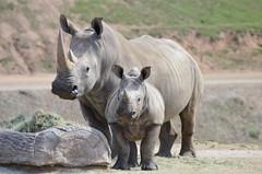 DSC_4045 (Andrew Nakamura) Tags: animal mammal rhino southernwhiterhinoceros whiterhino rhinocalf onalert sandiegozoosafaripark safaripark escondido