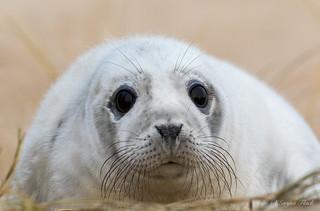 Grey seal pup.