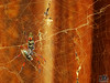 NEPHILA_SENEGALENSIS_TIME_TO_LUNCH (paulomarquesfotografia) Tags: paulo marques sony hx400v aranha spider nephila senegalensis hunter cobweb teia fly bokeh macro close up dof