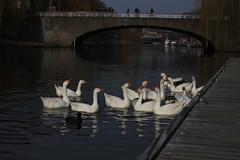 Ganzen bij de Wilhelminabrug (GoMac5) Tags: ganzen geeze oche ponte bridge brug denbosch wilhelminabrug