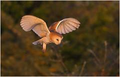 Barn Owl (Antony Ward) Tags: barny flight birdsinflight barnowl