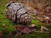 sottobosco (fotomie2009) Tags: pigna pino sottobosco cone conifera flora