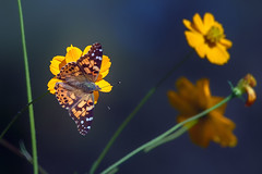 Painted Lady On Yellow Flower - 102017-100902 (Glenn Anderson.) Tags: insect wings antenna butterfly outdoors nature flight flowers nikon paintedlady outside animal plant depthoffield spots colorfull waynesboroughpark bokeh closeup