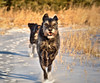 Girl On The Run (LupaImages) Tags: dog gabby running winter cold snow january face fur canine exercise meadow ice outdoors outside family love