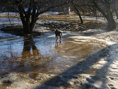 Reflections of tree and dog (Mulewings~) Tags: dogsiknow dixie blackandtan hounddog hikes hikewithdixie water runoff ice snow