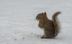 Red Squirrel (jtr27) Tags: dsc02522l jtr27 sony alpha alpha6000 a6000 ilce6000 ilc mirrorless konica hexanon 200mm f4 f40 manualfocus squirrel redsquirrel