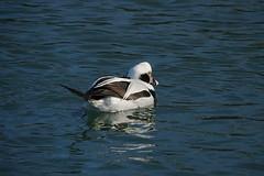 Long-tailed duck (alex_7719) Tags: water bird longtailedduck duck toronto ontario canada clangulahyemalis waterfowl humberbaypark торонто онтарио канада озероонтарио птица утка oldsquaw моря́нка саук