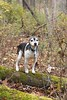 Our last adventure (Mulewings~) Tags: morris rip love dog dogsiknow thebestever jrt jackrussellterrier pet adore woods adventures adventureswithmorris