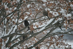 Birds in a Tree (eyriel) Tags: nature wildlife bird birds dove blackbird snow winter cold