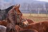 Ich habe ein wunderbares Pferd, es hat die Leichtigkeit des Windes und des Feuers Hitze, aber wenn sein Reiter es besteigt, ist seine Sanftmut nichts als die Ruhe vor dem Ausbruch des Sturmes. (michadickmann) Tags: pferd ostwind sturm ruhe landgestüt st johann fohlenhof marbach gestütshof schwäbische alb