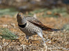 northern flicker (Pattys-photos) Tags: northern flicker pattypickett4748gmailcom pattypickett