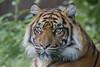Tess (Joey's Wildlife and Nature) Tags: tiger tigress sumatran zoo zoophotograpy zoophotography bigcat big cat wildcat canon canonphotography sigma sigma50500 portrait panthera feline female wild eyetoeye animal burgerszoo